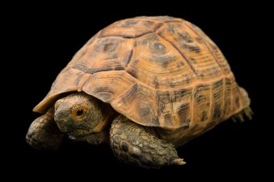 Picture of a vulnerable golden Greek tortoise (Testudo graeca terrestris) at Pet Paradise.