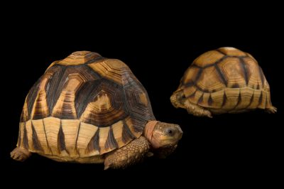 Picture of two critically endangered ploughshare tortoises (Astrochelys yniphora) at Zoo Atlanta.