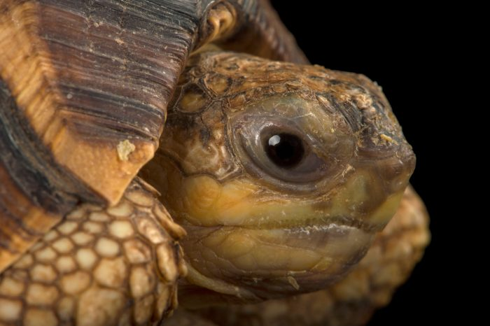 Picture of a critically endangered ploughshare tortoise (Astrochelys yniphora) at Zoo Atlanta.