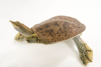 Picture of a northern spiny soft-shelled turtle (Apalone spinifera hartwegi) at the Oklahoma City Zoo.