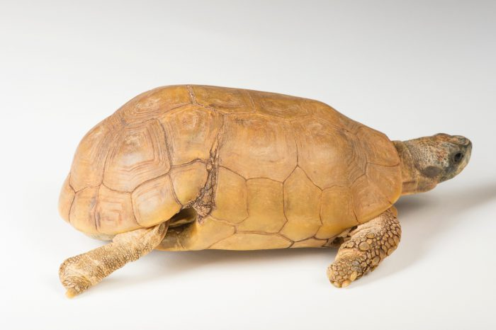 Picture of a male, Western hinge-back tortoise (Kinixys belliana nogeuyi) named Harvey at the Brevard Zoo.