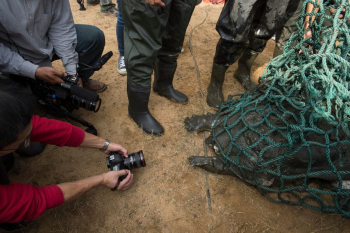 Photo: Zookeepers net a critically endangered Yangtze giant softshell turtle (Rafetus swinhoei) at the Suzhou Zoo in China.