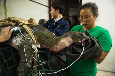 Photo: A critically endangered Yangtze giant softshell turtle (Rafetus swinhoei) has a check up at the Suzhou Zoo in China.