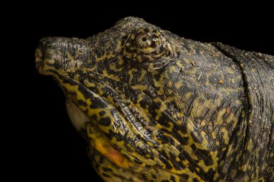 Picture of a female, critically endangered Yangtze giant softshell turtle (Rafetus swinhoei) at the Suzhou Zoo in China.