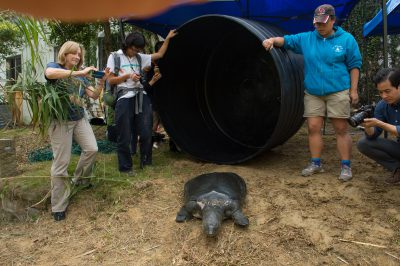 Photo: A female, critically endangered Yangtze giant softshell turtle (Rafetus swinhoei) is released into an enclosure at the Suzhou Zoo in China.