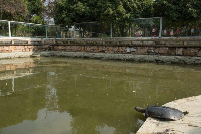 Photo: A female, critically endangered Yangtze giant softshell turtle (Rafetus swinhoei) inside an enclosure at the Suzhou Zoo in China.