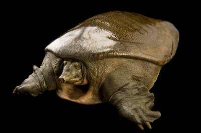 Photo: A vulnerable Indian soft shelled turtle (Nilssonia gangetica) at the Kukrail Gharial and Turtle Rehabilitation Centre in Lucknow, India.