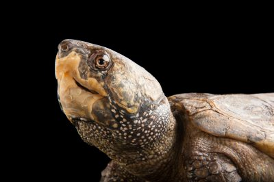 Picture of an endangered Chinese big-headed turtle (Platysternon megacephalum megacephalum) at the Houston Zoo.