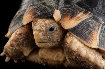 A critically endangered Egyptian tortoise (Testudo kleinmanni) at the Houston Zoo.