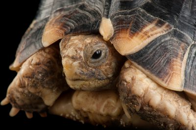 A critically endangered Egyptian tortoise (Testudo kleinmanni) at the Houston Zoo.