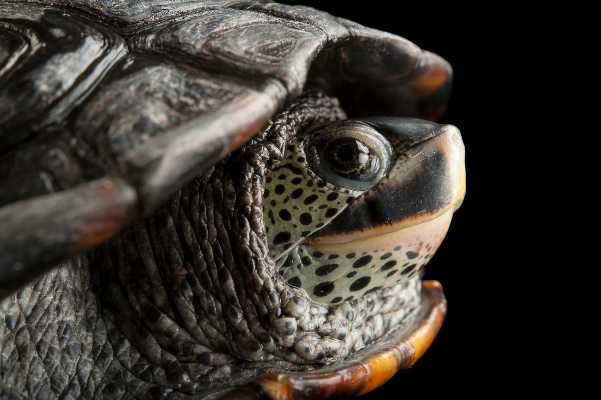 Picture of a Texas diamondback terrapin (Malaclemys terrapin littoralis) at the Houston Zoo.