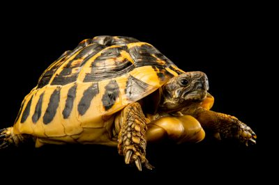 Picture of a Balkan Hermann's tortoise (Testudo hermanni hermanni) at the Saint Louis Zoo.