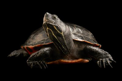 Picture of a federally endangered Plymouth red-bellied turtle (Pseudemys rubriventris bangsi) sometimes called the Plymouth red-bellied cooter, at the Buttonwood Park Zoo in New Bedford, Massachusetts.