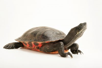 A federally endangered Plymouth red-bellied turtle (Pseudemys rubriventris) sometimes called the Plymouth red-bellied cooter, at the Buttonwood Park Zoo in New Bedford, Massachusetts. This was the first freshwater turtle species in the United States to be listed as endangered.