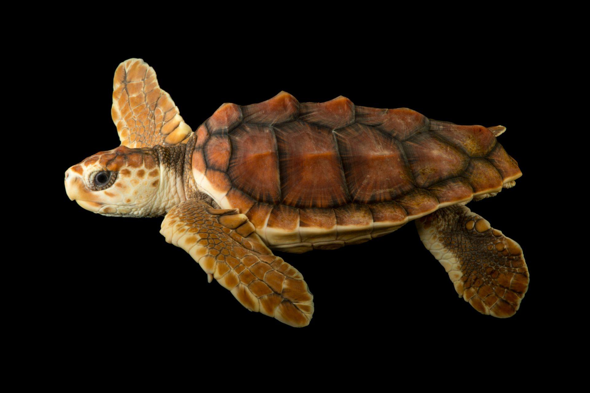 Picture of a vulnerable (IUCN) and federally threatened juvenile loggerhead sea turtle (Caretta caretta) at the Newport Aquarium.