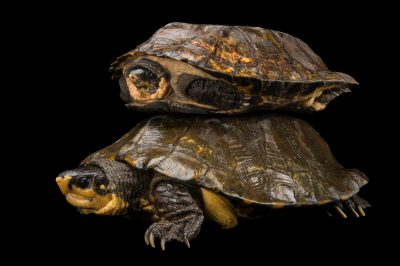 Picture of two vulnerable Malayan flat shelled turtles (Notochelys platynota) at the Knoxville Zoo.