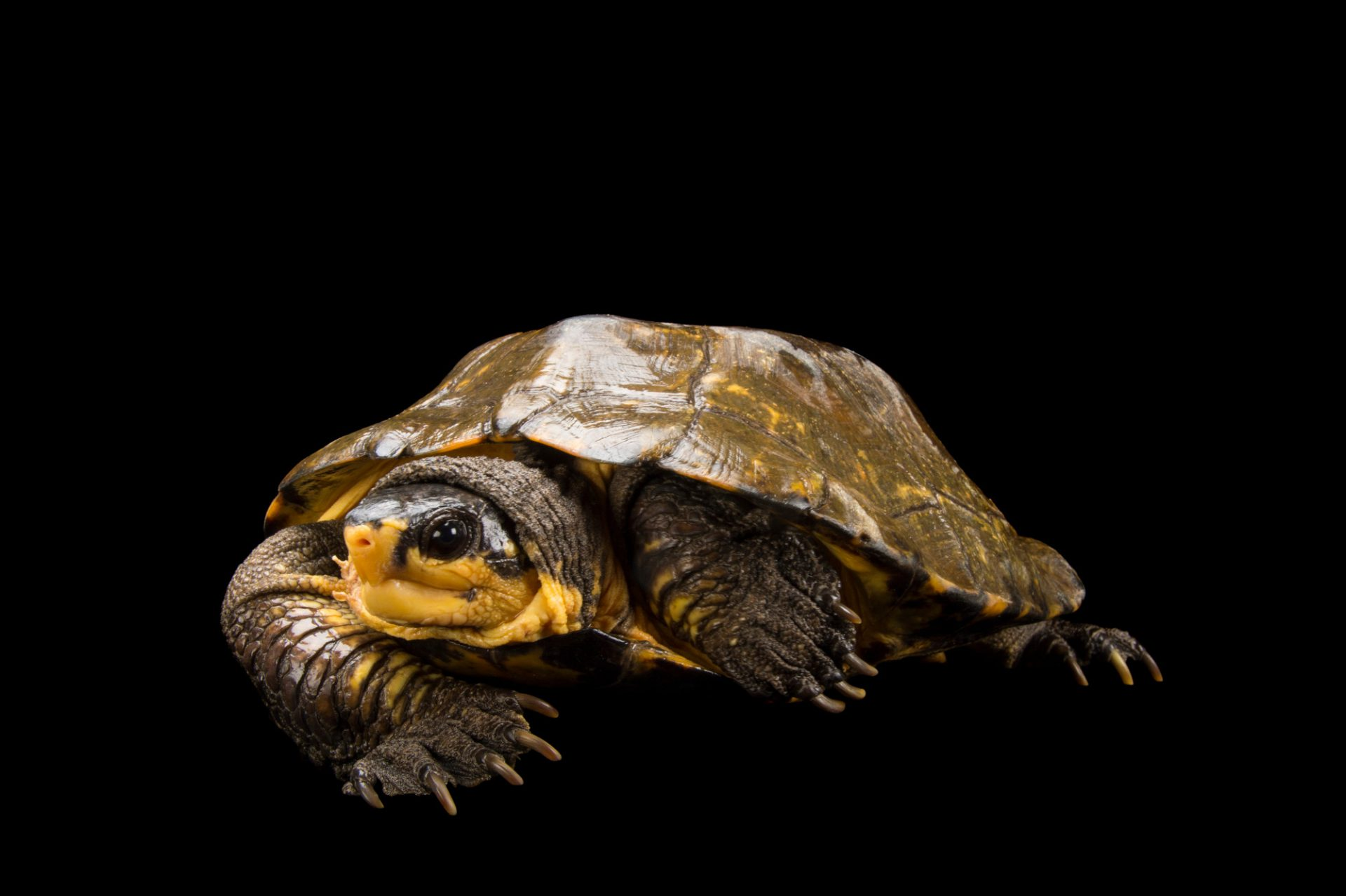 Picture of a vulnerable Malayan flat shelled turtle (Notochelys platynota) at the Knoxville Zoo.