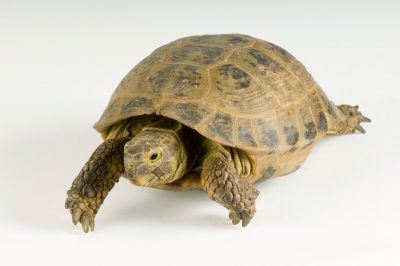 A russian tortoise (Testudo horsfieldii) at the Safari Land Pet Center. This species is listed as Vulnerable by IUCN.