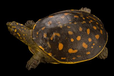 An Indian flapshell turtle (Lissemys punctata andersoni) from the Assam State Zoo.