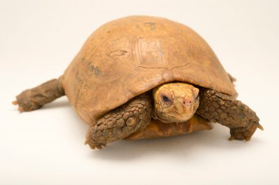 An endangered (IUCN) elongated tortoise (Indotestudo elongata) from the Assam State Zoo. This could be described as a new subspecies once genetic work is done.