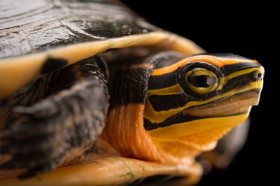 Picture of a vulnerable Malayan box turtle (Cuora amboinensis) at the Assam State Zoo cum Botanical Garden.