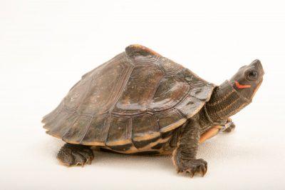 Photo: An endangered Assam roofed turtle (Pangshura sylhetensis) at the Assam State Zoo cum Botanical Garden.