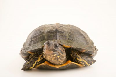 Photo: Brown wood turtle (Rhinoclemmys annulata) at the Cali Zoo in Colombia.