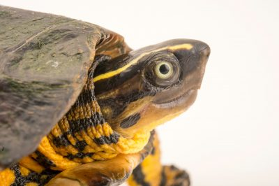 Photo: Columbian wood turtle (Rhinoclemmys melanosterna) at the Cali Zoo. This specimen came from the northern part of Colombia.