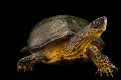 Photo: Columbian wood turtle (Rhinoclemmys melanosterna) at the Cali Zoo.