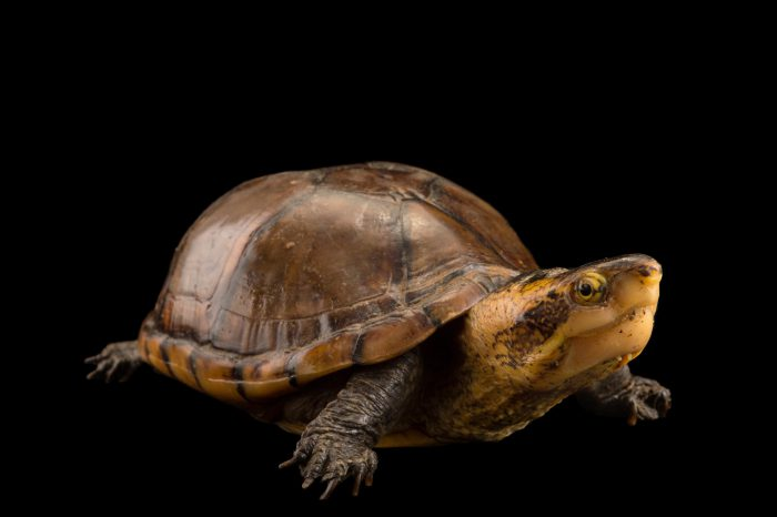 Picture of a white-lipped mud turtle (Kinosternon leucostomum) at the Cali Zoo in Colombia.