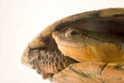 Photo: DahlÕs toad-headed turtle (Mesoclemmys dahli) at the Cali Zoo in Colombia.