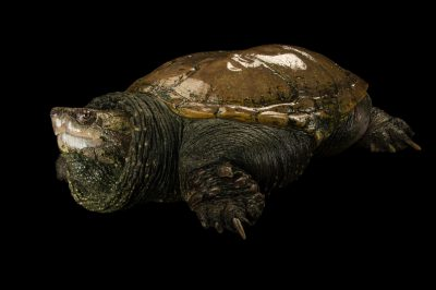 Photo: South American snapping turtle (Chelydra acutirostris) at the Cali Zoo in Colombia.