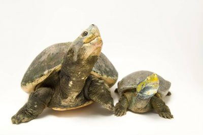 Photo: A male and female critically endangered red-crowned roof turtle (Batagur kachuga) at the Kukrail Gharial and Turtle Rehabilitation Centre in Lucknow, Upper Pradesh, India.