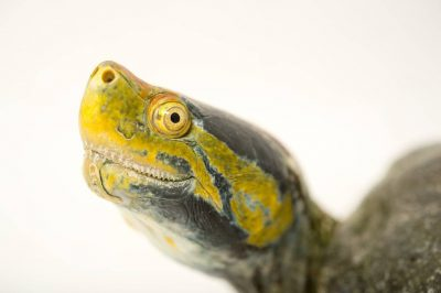 Photo: A red-crowned roof turtle (Batagur kachuga) at the Gharial and Turtle Rehabilitation Center in Lucknow, Upper Pradesh, India.