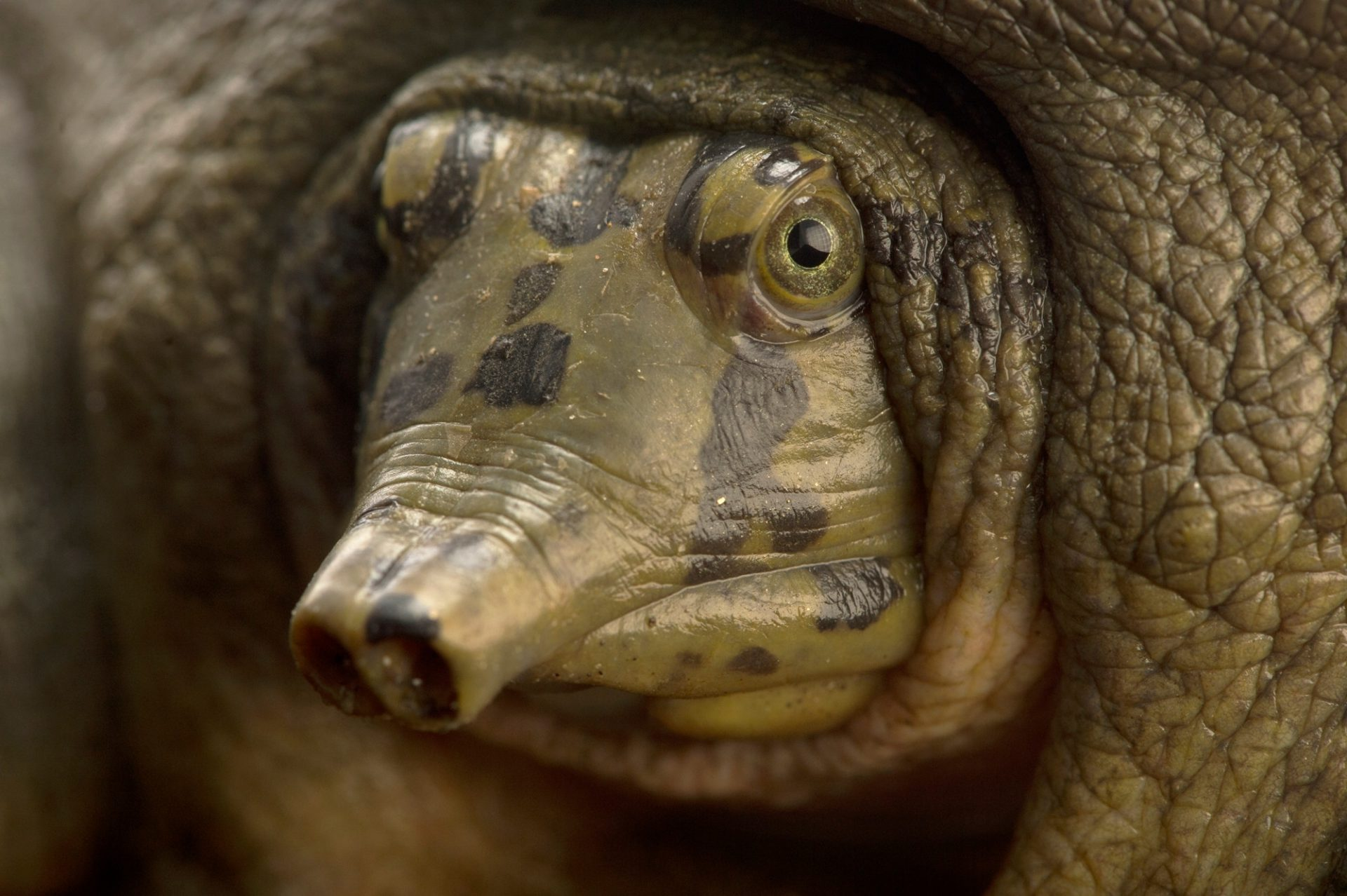 Photo: Ganges soft shelled turtle (Nilssonia gangetica) at the Gharial and Turtle Rehabilitation Center in Lucknow, India.
