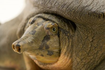 Photo: A Ganges soft shelled turtle (Nilssonia gangetica) at the Gharial and Turtle Rehabilitation Center in Lucknow, India.