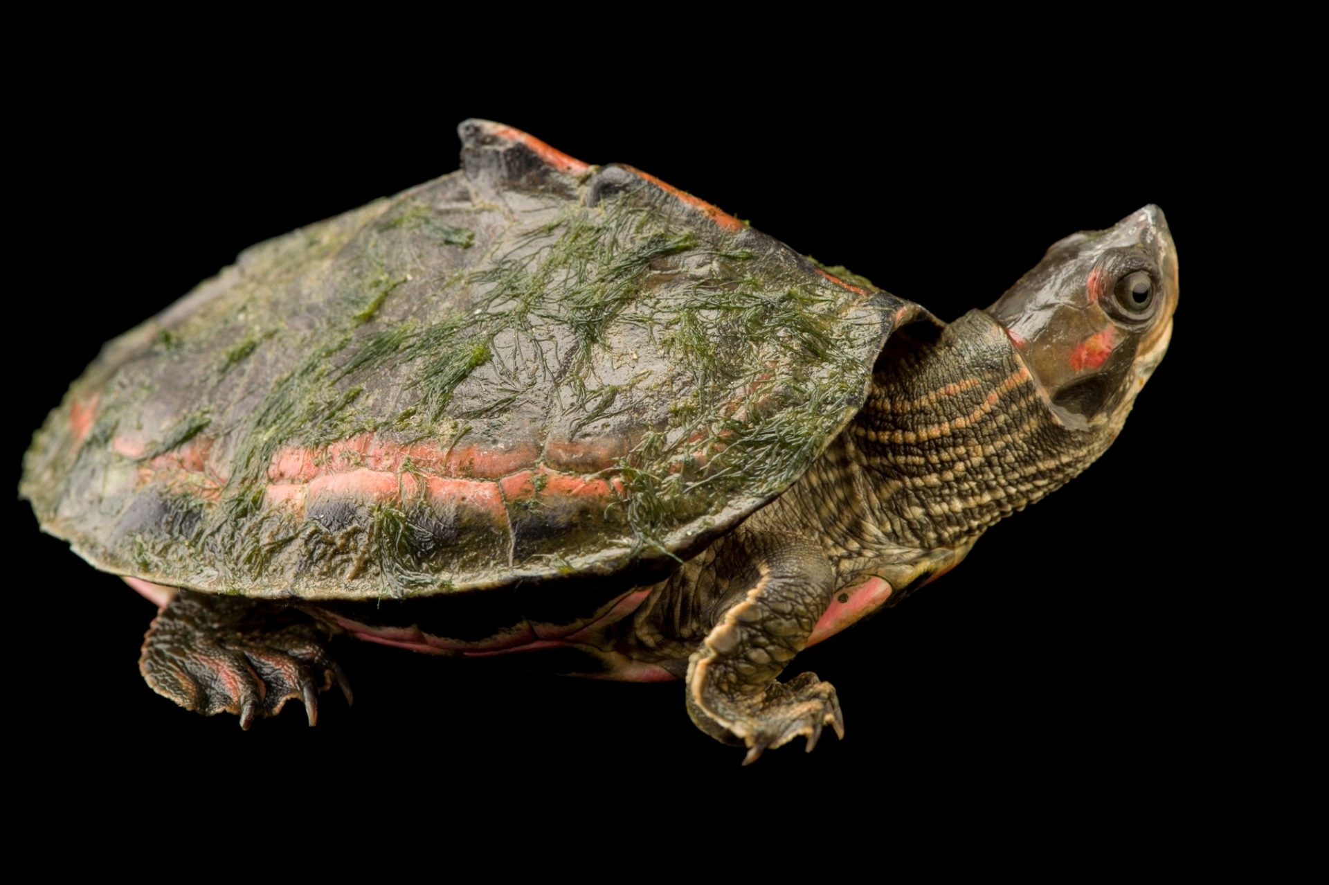 Photo: A pink ringed tent turtle (Pangshura tentoria circumdata) at the Gharial and Turtle Rehabiliation Center.