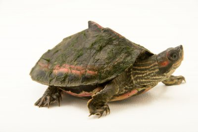 Photo A pink ringed tent turtle (Pangshura tentoria circumdata) at the Gharial and & pink-ringed tent turtle images - Joel Sartore