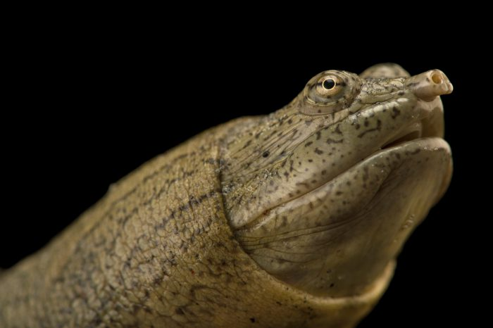 Picture of an endangered Indian narrow-headed softshell turtle (Chitra indica) at the Kukrail Gharial and Turtle Rehabilitation Centre in Lucknow, India.