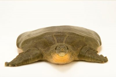 Photo: An endangered Indian narrow-headed softshell turtle (Chitra indica) at the Kukrail Gharial and Turtle Rehabilitation Centre in Lucknow, India.