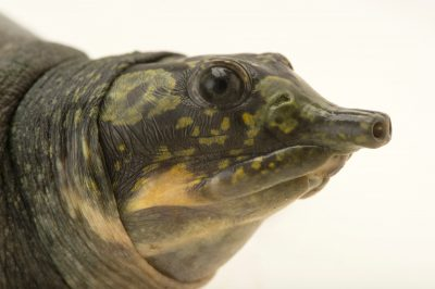 Picture of a vulnerable Indian peacock softshell turtle (Nilssonia hurum) at the Gharial and Turtle Rehabilitation Center.