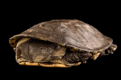 Photo: A vulnerable six-tubercled greaved turtle (Podocnemis sextuberculata) at the Faunia zoo in Madrid, Spain.