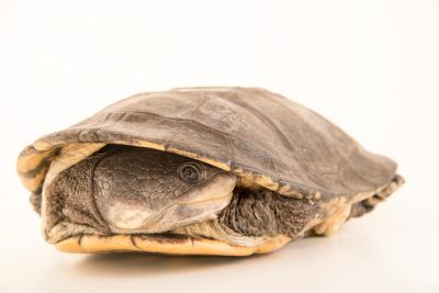 Picture of a vulnerable six-tubercled greaved turtle (Podocnemis sextuberculata) at the Faunia zoo in Madrid, Spain.