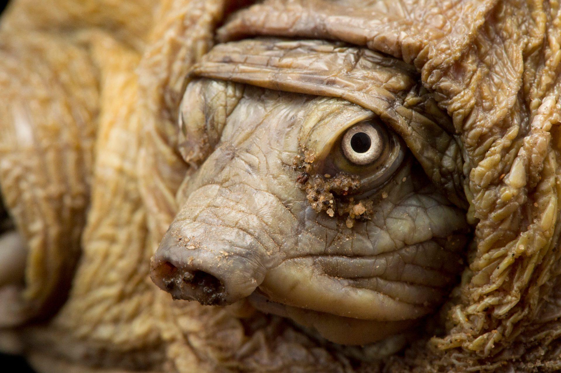 Photo: Indian flap shelled turtle (Lissemys punctata punctata) at Kamla Nehru Zoological Garden, Ahmedabad, India.