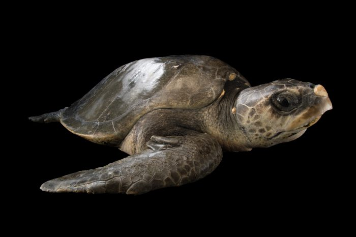 Photo: An olive ridley sea turtle, Lepidochelys olivacea, at the Loggerhead Marinelife Center.