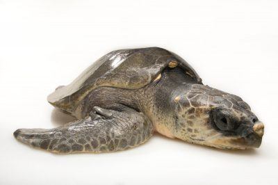 Photo: An olive ridley sea turtle, Lepidochelys olivacea, at the Loggerhead Marinelife Center.