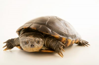 Photo: An East African black mud turtle (Pelusios subniger) at the Plzen Zoo.