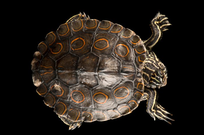 Photo: A federally threatened ringed map turtle, Graptemys oculifera, at the National Mississippi River Museum and Aquarium.