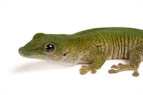 A Koch's giant day gecko (Phelsuma madagascariensis kochi) from a private collection.
