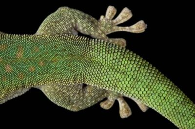 The tail of a Koch's giant day gecko (Phelsuma madagascariensis kochi) from a private collection.